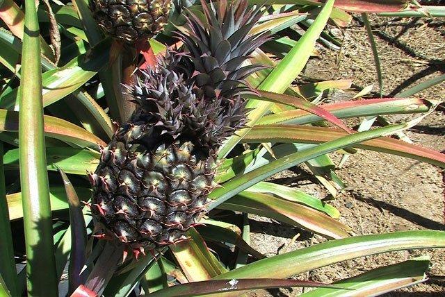 Anbau von Ananas