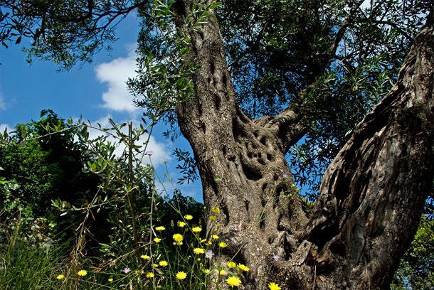 Knorziger Olivenbaum